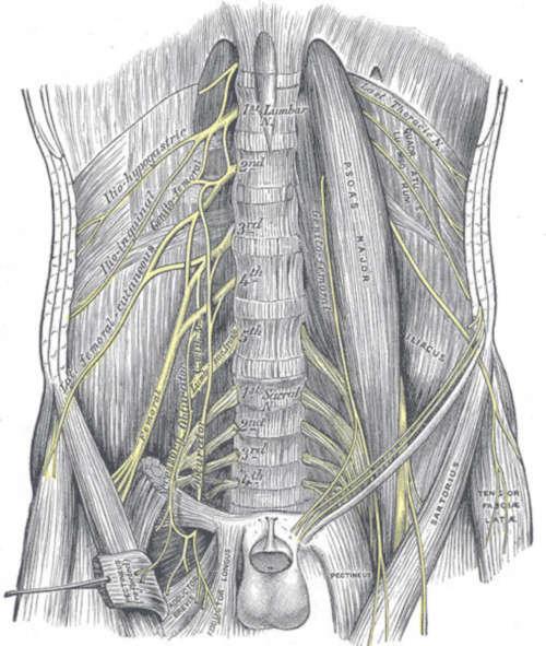decorso rami collaterali plesso lombare