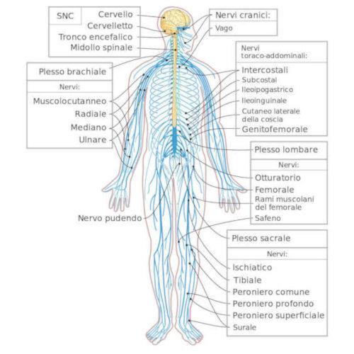 Azione ed innervazione muscolare