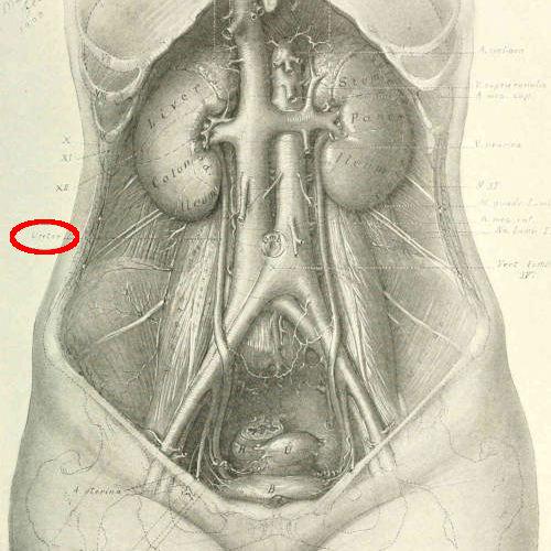 Uretere