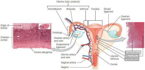 Pareti uterine