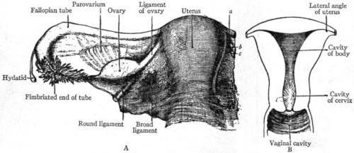 Utero organo