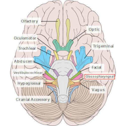 9° nervo cranico (glossofaringeo)