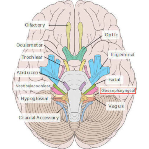 Nervo Glossofaringeo