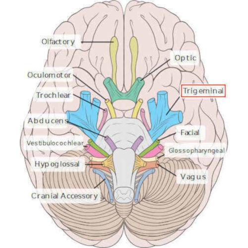 5° nervo cranico (trigemino)