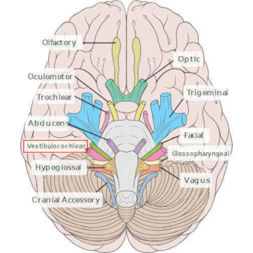 8° nervo cranico (vestibolo cocleare)