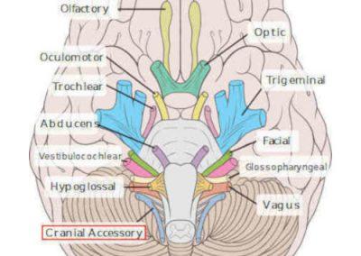 11° nervo cranico (accessorio)