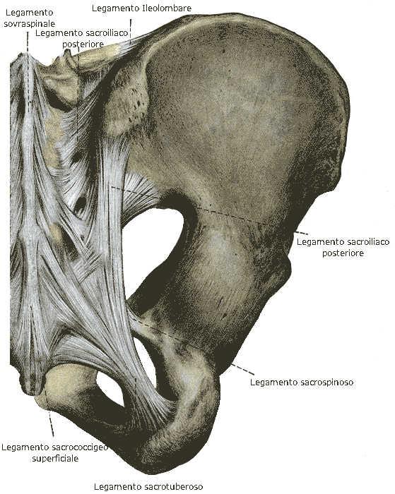 Legamenti sacroiliaci posteriori