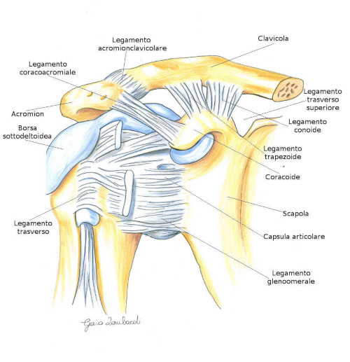 Acromion clavicolare o acromion clavicolare – Articolazione della Spalla