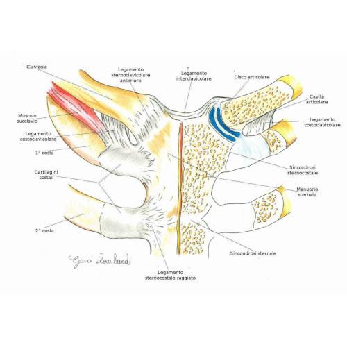 Articolazione sterno-clavicolare