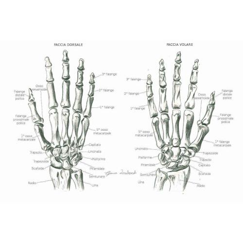 Articolazioni della mano: descrizione e suddivisione anatomica