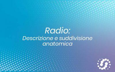 Radio osso: descrizione e rapporti anatomici
