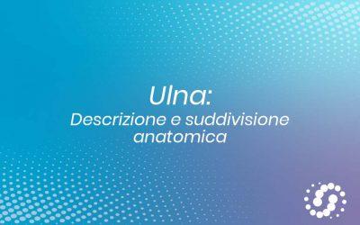 Ulna: descrizione e rapporti anatomici