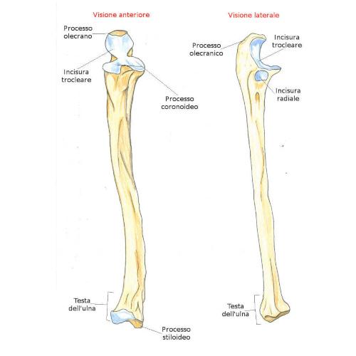Ulna osso