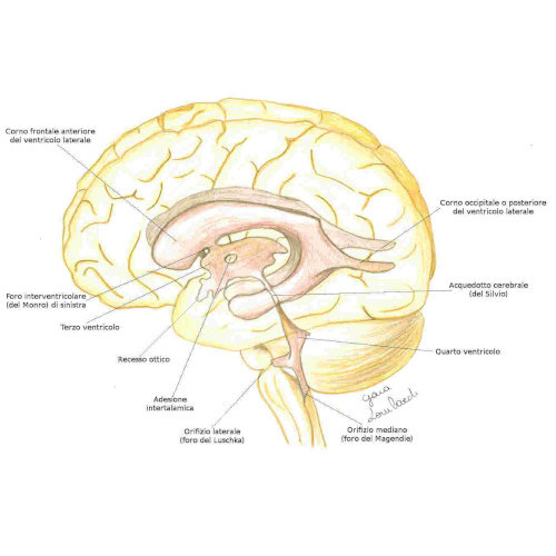 Ventricoli cerebrali
