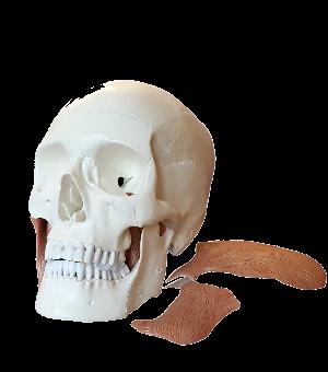Cranio con muscoli masticatori rimossi