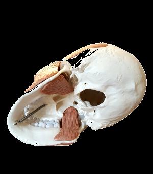 Cranio con muscoli masticatori visione inferiore