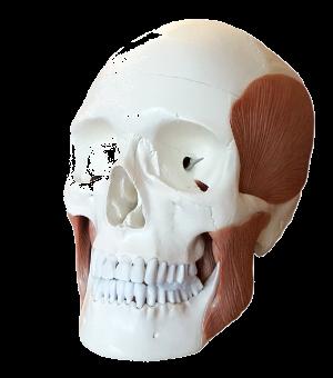 Cranio con muscoli masticatori
