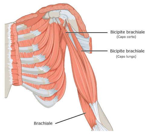 Brachiale