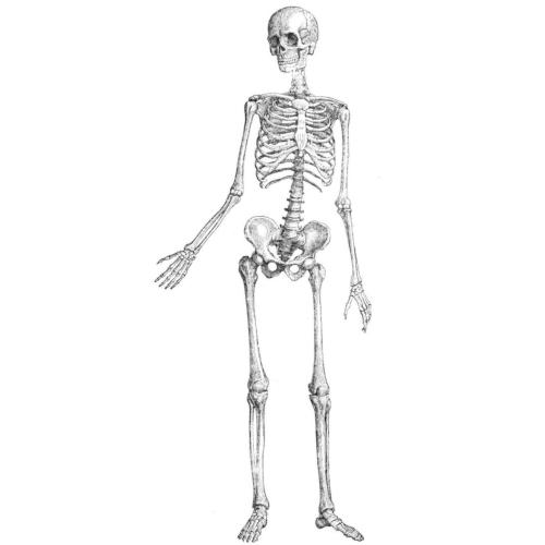 Ossa del corpo umano