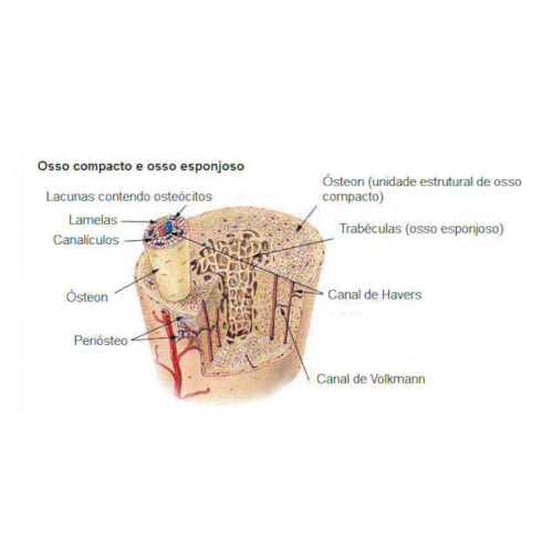 Struttura dell'osso