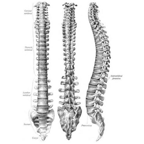 Colonna vertebrale: analisi e suddivisione anatomica