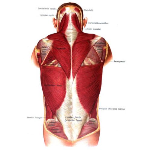 Muscoli del torace