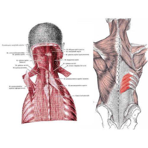 Dentato posteriore