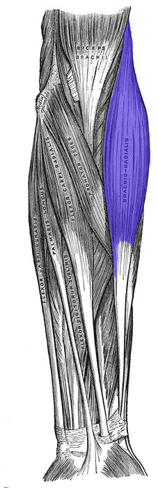 Brachioradiale