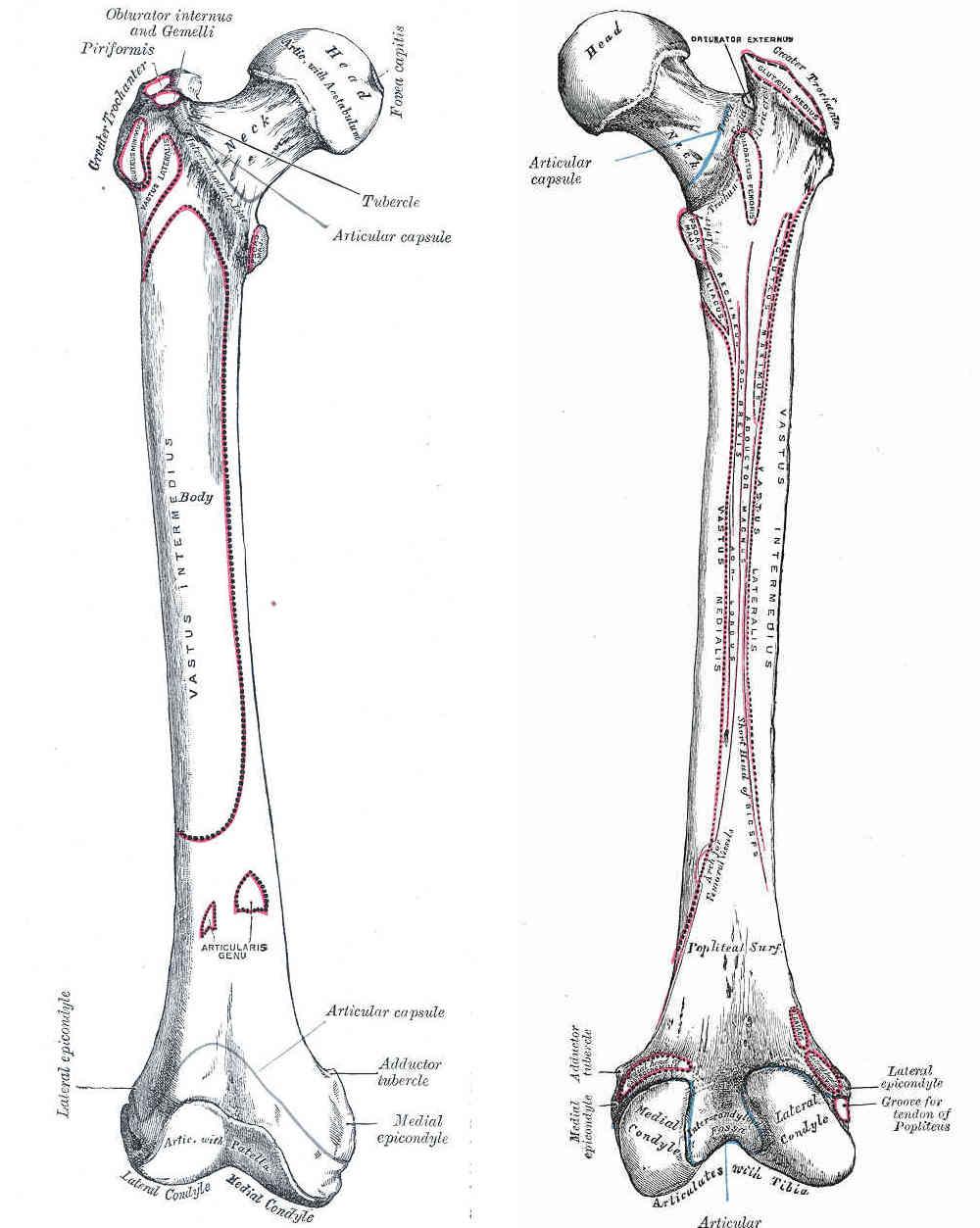 Femore: descrizione e rapporti anatomici