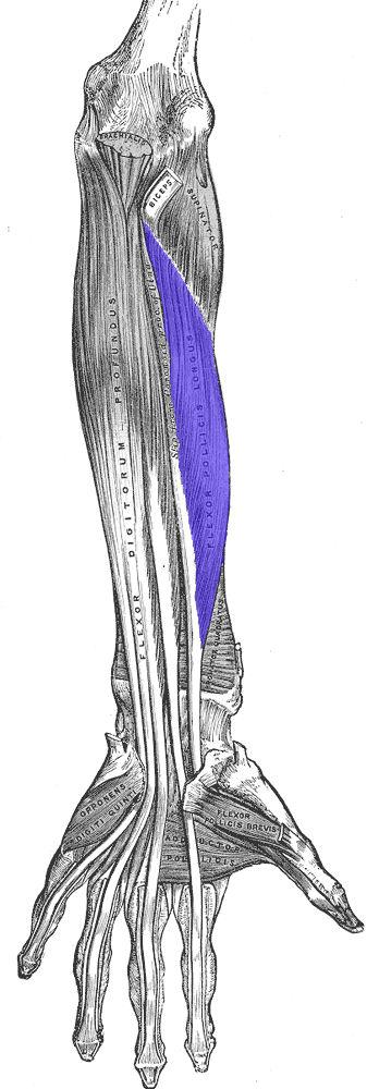 Flessore lungo del pollice