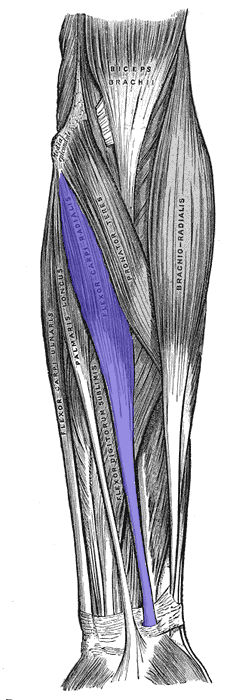 Flessore radiale del carpo