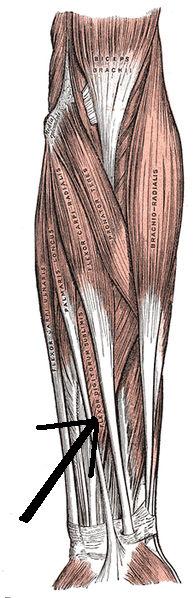 Flessore superficiale delle dita