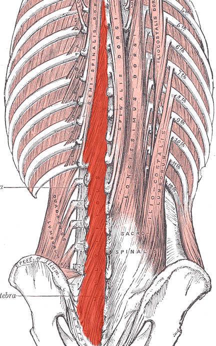 Muscolo multifido