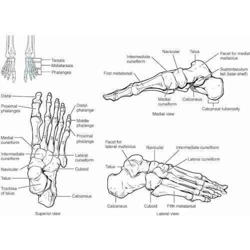 Ossa del piede