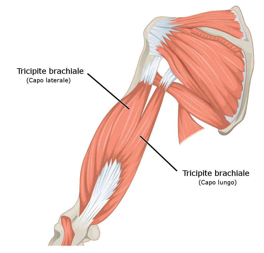 Tricipite brachiale