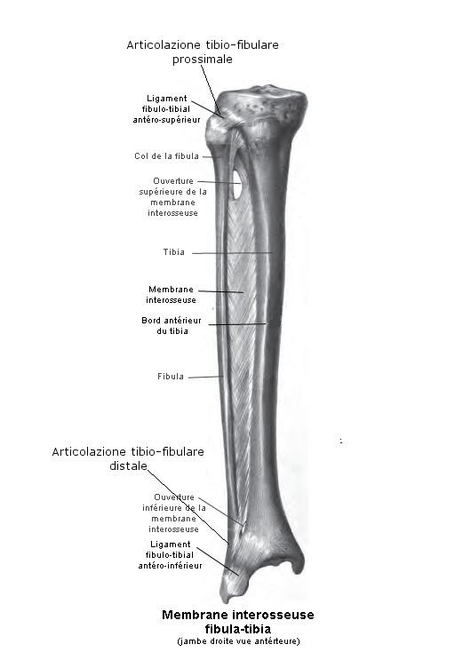 Articolazione tibio-fibulare: anatomia e rapporti dell'articolazione