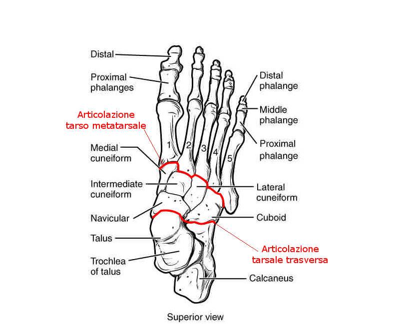 Articolazioni del piede