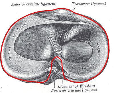 Capsula articolare del ginocchio