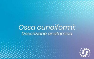Osso Cuneiforme – descrizione e rapporti anatomici