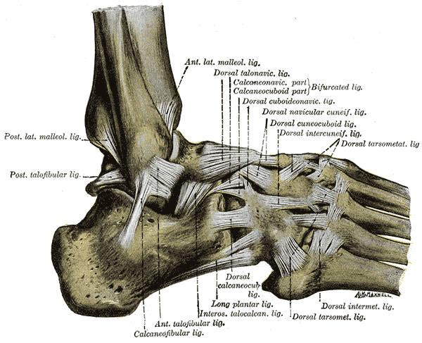 Legamenti del piede