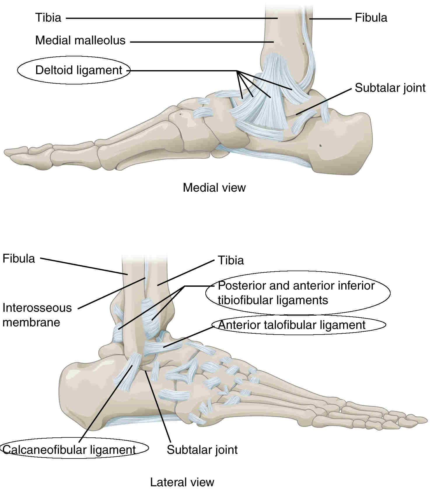Legamenti dell'articolazione tibio tarsica