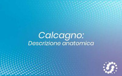 Osso Calcaneare: descrizione e rapporti anatomici