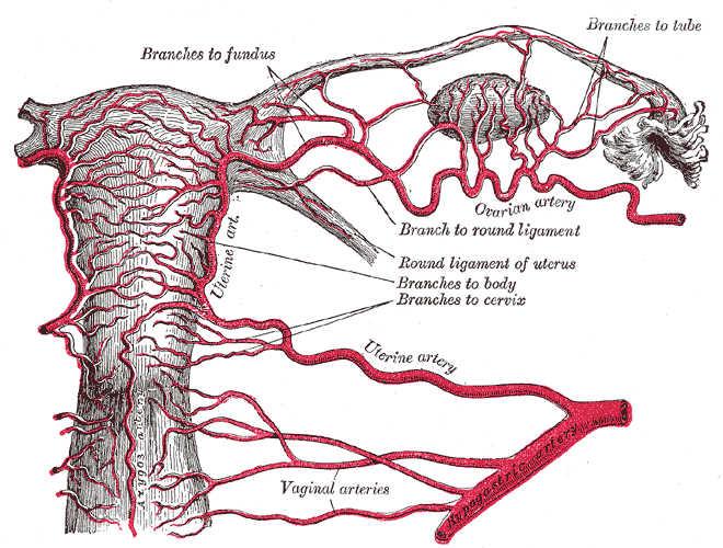 Vascolarizzazione tube di falloppio