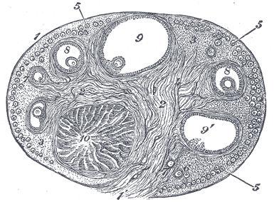 zona corticale dell'ovaio