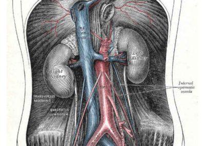 Suddivisione vascolare dell'aorta addominale