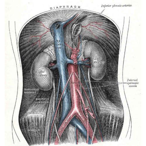 Aorta addominale