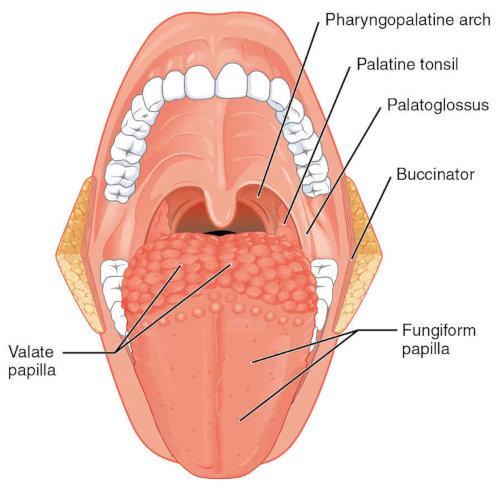 Lingua: composizione, rapporti e descrizione anatomica