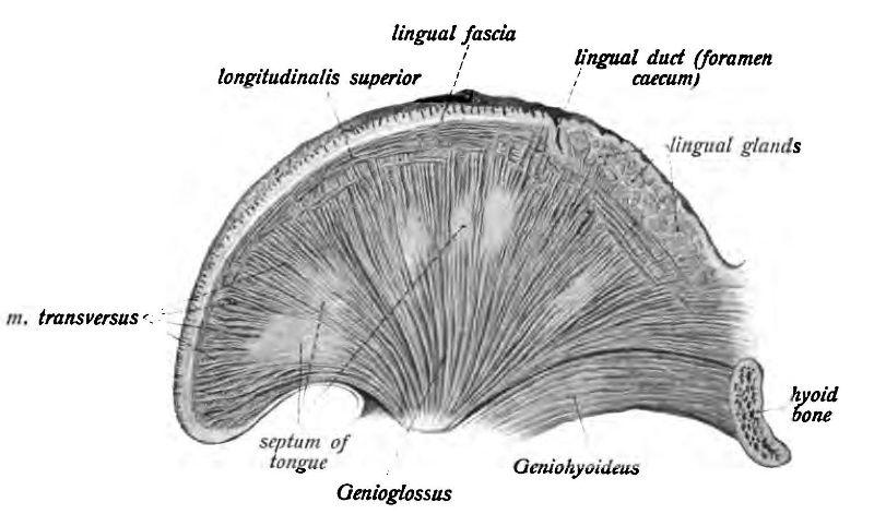 Muscoli intrinseci della lingua