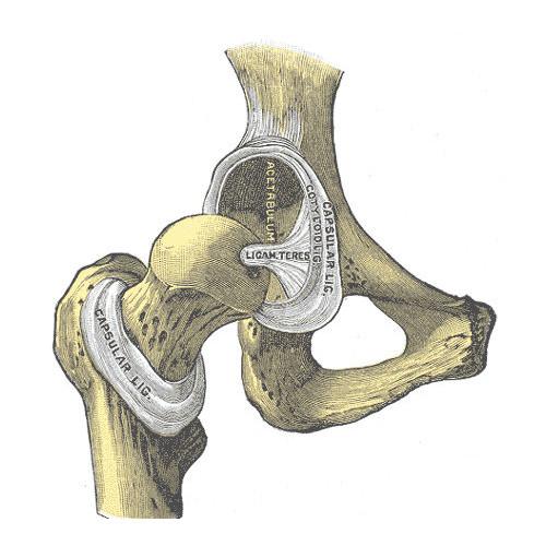 Articolazione dell'anca (coxofemorale)