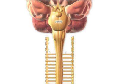 Relazioni vertebre dorsali